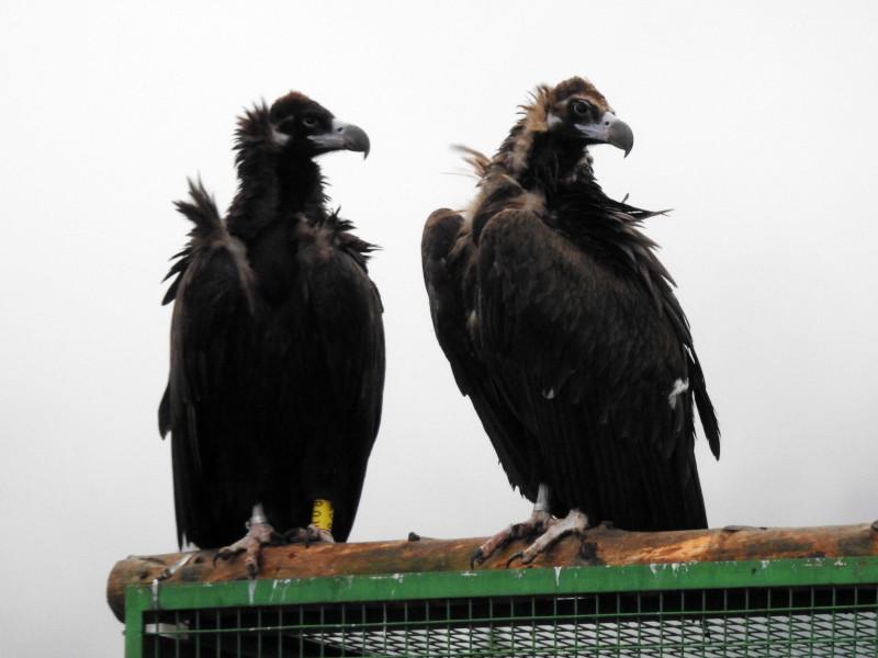 """""""Acebo"""" (a la izquierda) y """"Arca"""", primera pareja de buitre negro que cría en la Sierra de la Demanda, sobre el jaulón de aclimatación para las aves destinadas a su liberación, construido en Huerta de Arriba (Burgos)."""