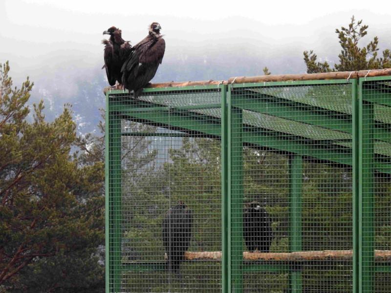 """Otra imagen de """"Acebo"""" y """"Arca"""" sobre el jaulón de aclimatación de Huerta de Arriba."""