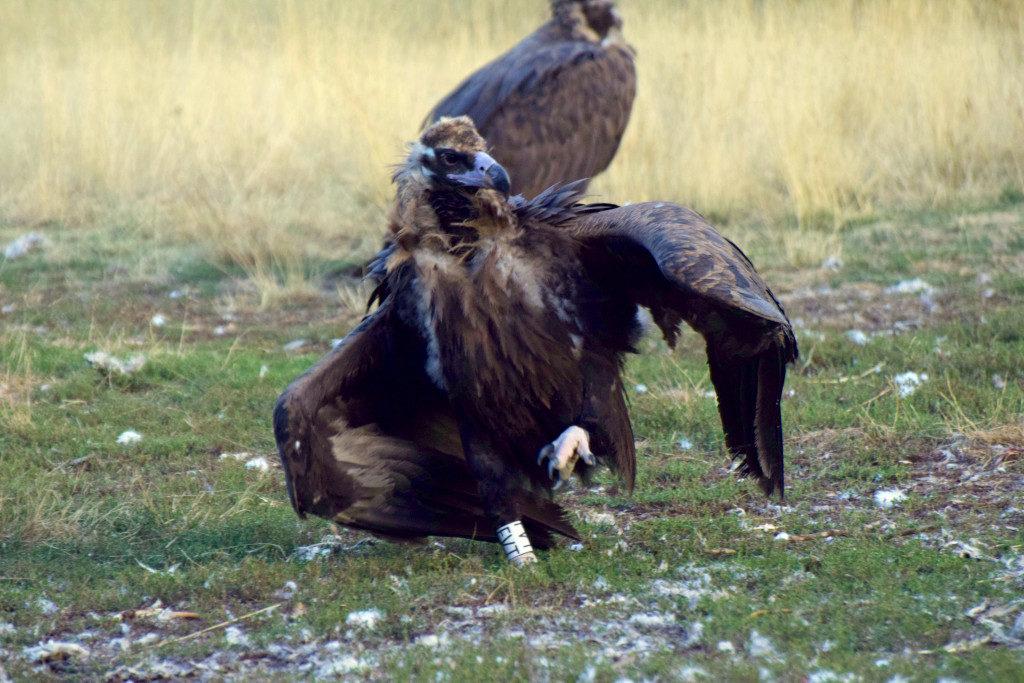 Buitre negro de origen francés en el PAE de Huerta de Arriba, marcado como pollo en nido en 2019 Baronnies (Francia).